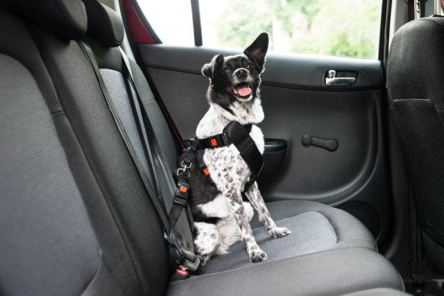 Hund med sikkerhedssele